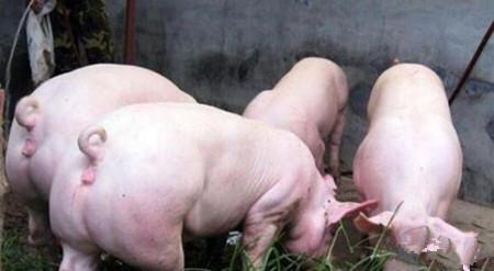 后备母猪免疫程序
