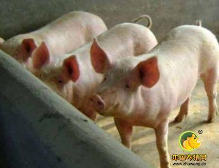 葡萄球菌感染,猪场实践治疗断根方案