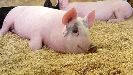 技术实力派图说论道—毒素堆积对猪只的危害与表现