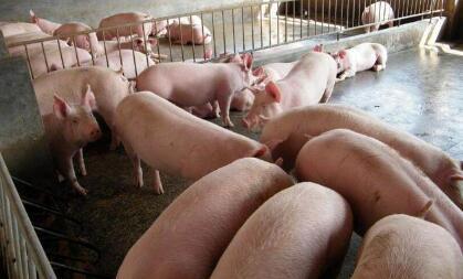 20斤重猪苗800元/头,7、8月份猪价值不值得赌一把?