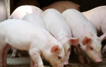高价猪苗还有养殖户补栏,这5大利好因素在支撑