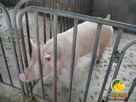 公猪精液杂质多什么情况