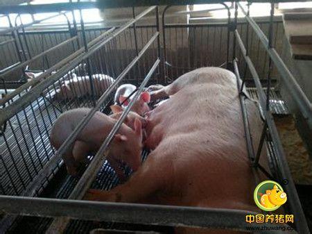 在产房经常能遇见母猪难产,除了打催产素,您思考分析过原因吗?