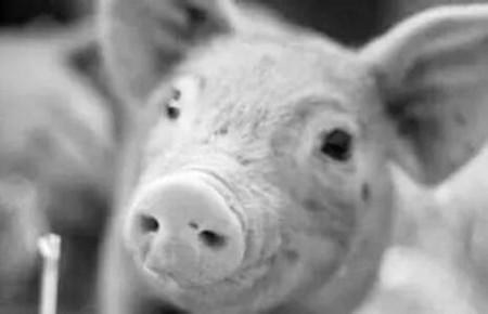 老兽医简单几招教你防治猪咳喘!