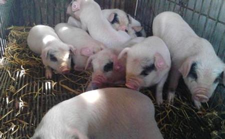 断奶保育猪败血性链球菌病发病及诊治过程