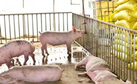生料喂猪应注意的8个事项