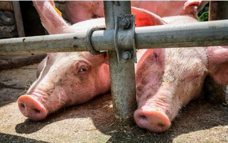 母猪舍建运动场的参数规格