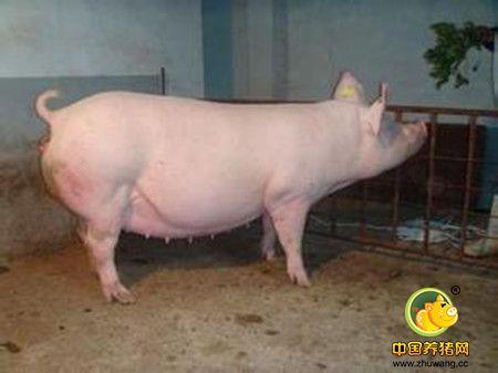 母猪拒哺仔猪怎么办
