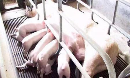 猪场消毒新方法