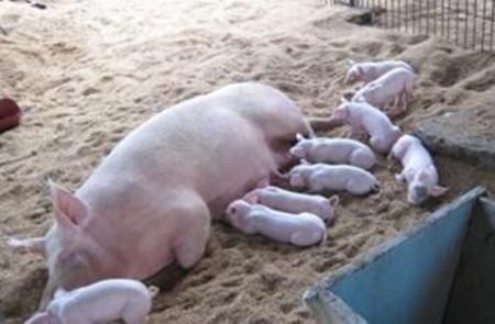 猪布鲁菌病的症状与防治方法,养猪怎样防治布病?
