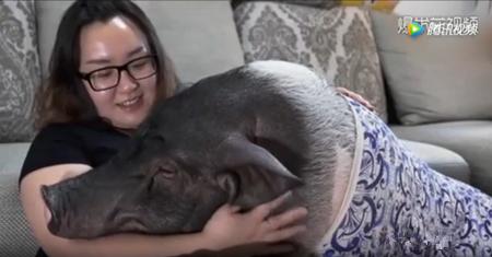 北京姑娘养猪当宠物:其实猪很爱干净的
