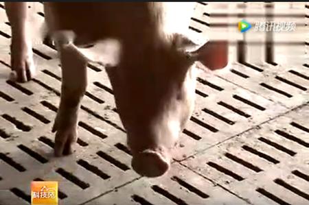 农村养猪新方法,如何让母猪下更多猪仔