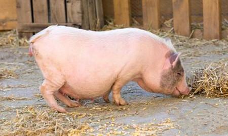 猪场建设的基础与地面