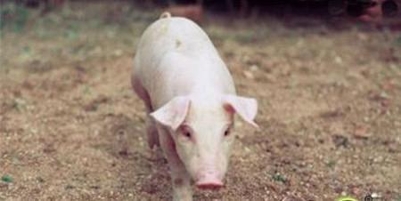 工厂化猪场部分设施及内部安装技术
