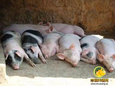 巧用十招提高商品育肥猪出栏率