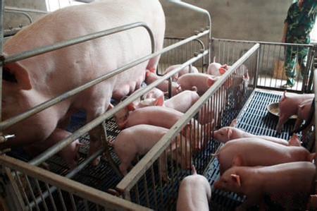 养殖户应了解的种母猪挑选方法