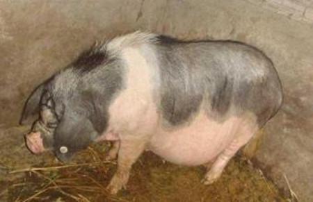 母猪产后不发情