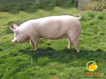 能繁母猪的淘汰选择