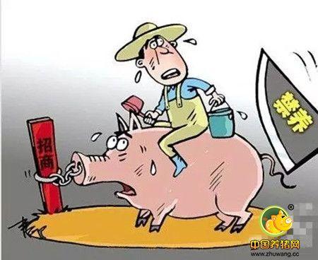 叫停家庭养猪?未来农村散养户该怎么办?