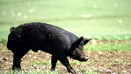 2月第4周生猪监测:仔猪母猪复涨 肥猪猪肉续跌