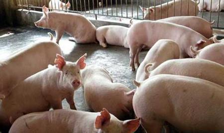 常见的几种混合感染猪病及对策