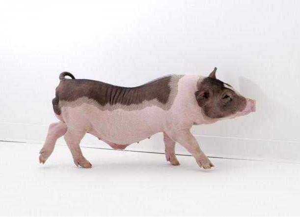 猪场研究:改善母猪管理可提高仔猪初生重442克