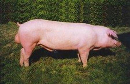 种公猪不育的治疗