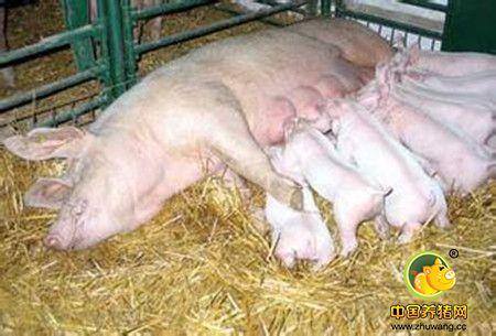种猪的淘汰与更新最佳技术方法
