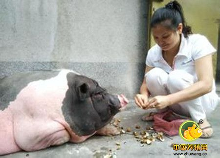 种猪引回需要细心照料