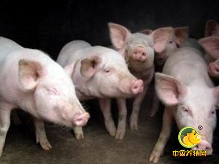 养猪户该挑选什么样的母猪留种?