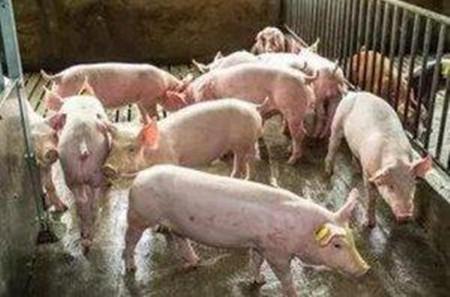 """用三个典型案例,分析猪场如何通过生产记录""""破解""""猪群生产与健康问题?"""