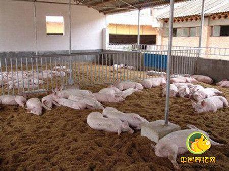 养猪生产中如何应用饲料香味剂