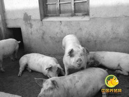 饲料加调料,养猪有奇效