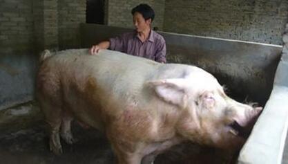 国内生猪均价延续下跌行情 大部地区以窄幅调整为主