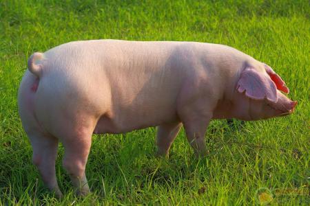 2017年2月25日(20至30公斤)仔猪价格行情走势