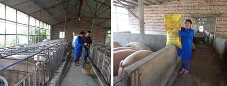 一月两次饲料降价  养猪获利空间增长