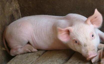 业内:生猪供应不会大增 但屠宰企业收猪难度不会太大