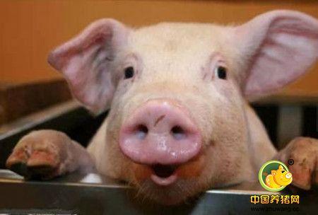 通讯:看环境干燥清爽的德国养猪场如何处理猪粪