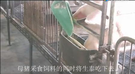 丰强生泰在养猪场的使用方法参考