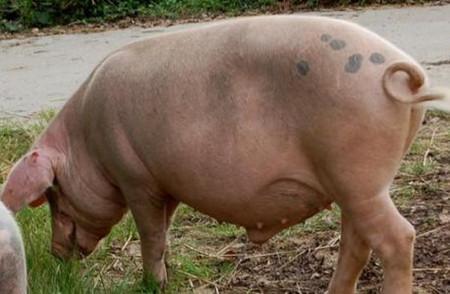 提高哺乳母猪泌乳的方法