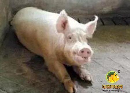 问题猪场的起死回生之路