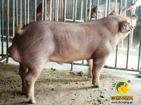 种公猪采精中常见的问题与对策