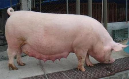 给猪输精的基本程序,母猪输精操作要点