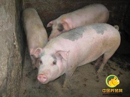 选购健康仔猪的十大诀窍,健康仔猪选购指南