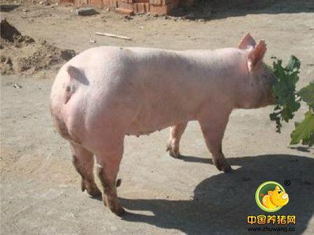 小公猪阉割法之提起法,小公猪阉割新方法