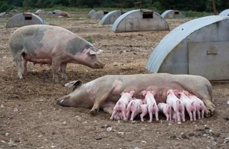 母猪产后无乳表现、发病原因及对策