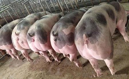 后备种公猪、种母猪适宜的配种年龄是多大