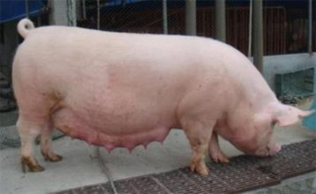 母猪产后喂养