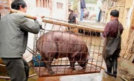 谨防猪贩子的这些伎俩,小心被骗