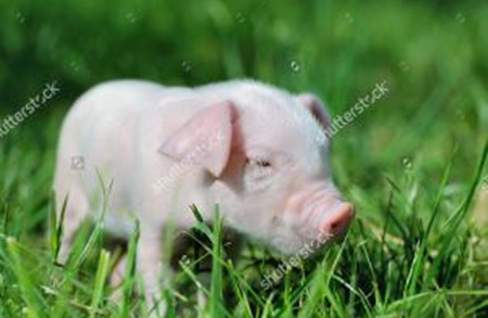 夏季要想把猪养好,这几点必须做到位!